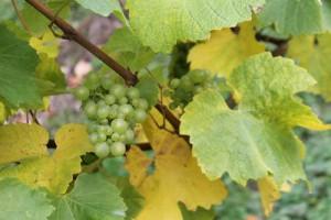Fairmile Vineyard Henley 2015 Harvest