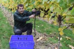 Fairmile Vineyard Henley 2015 Harvest